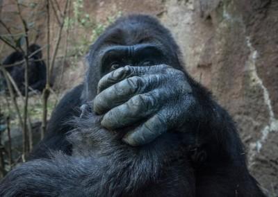gorilla3 (1 of 1)