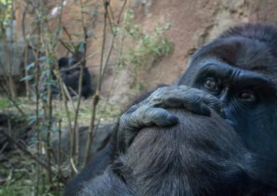 gorilla6 (1 of 1)-2